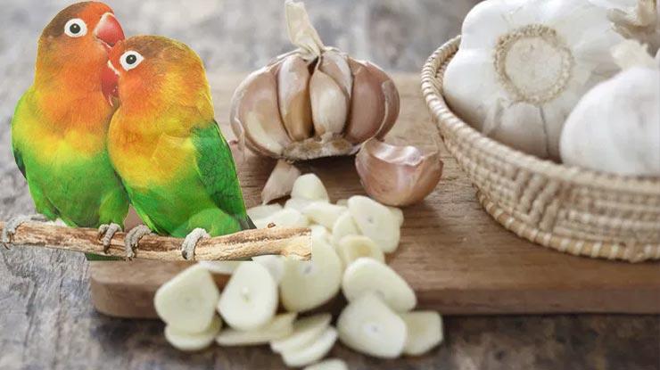 Manfaat Bawang Putih Bagi Burung Lovebird
