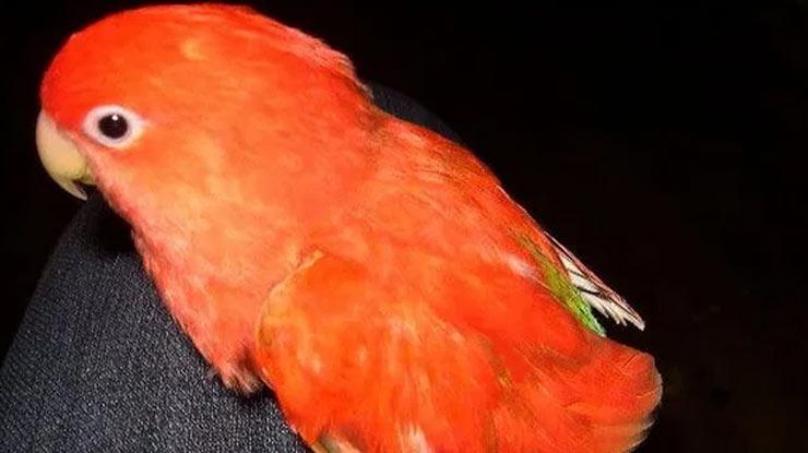 Biola Merah
