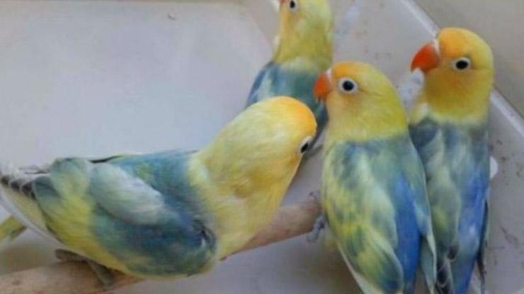 Jenis Burung Lovebird Misty
