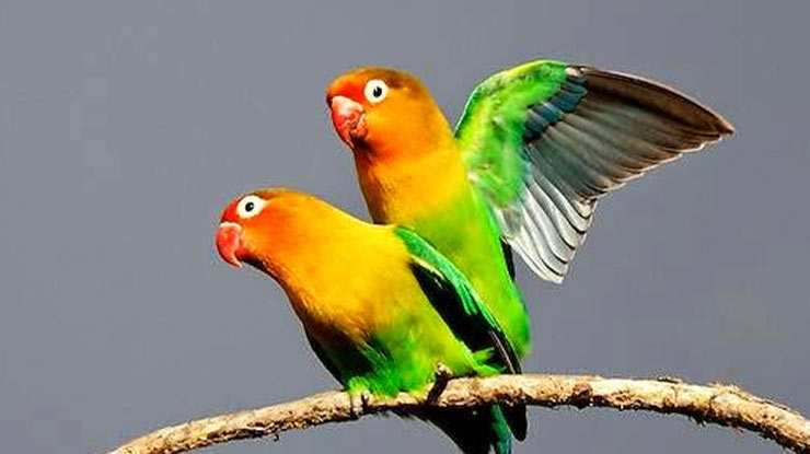 PERKAWINAN LOVEBIRD YANG SUDAH BERJODOH
