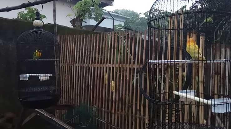 Pengembunan Efektif Menyembuhkan Lovebird ngekek buka sayap