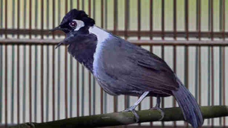 Perawatan Harian Burung Poksay Hongkong