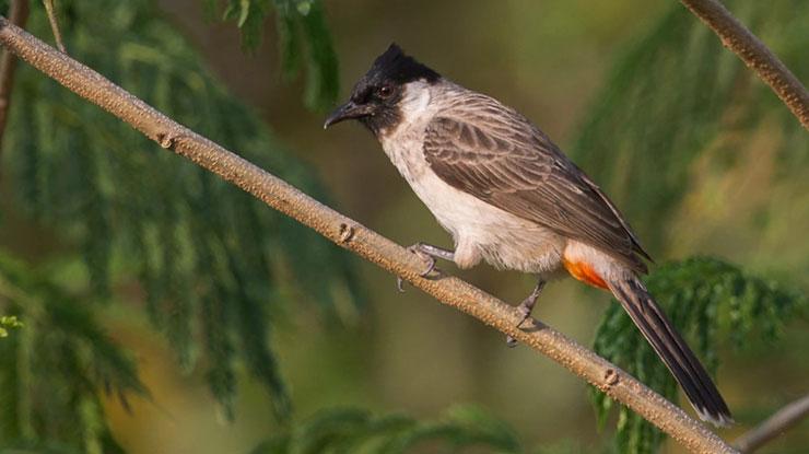 Sejarah Burung Kutilang