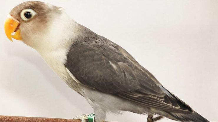 Slaty Adalah Jenis Burung Lovebird
