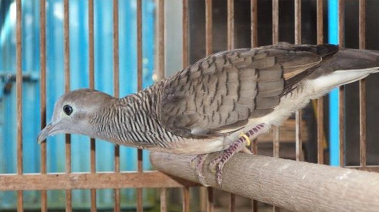 Suara Burung Perkutut Bangkok