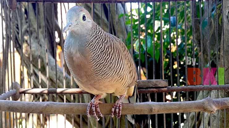 Perbedaan Suara Burung Perkutut Lokal dan Bangkok