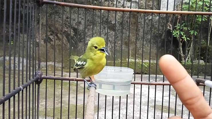 Suara Burung Sirtu atau Cipoh Gacor