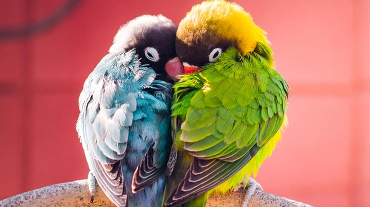 CIRI LOVEBIRD BERJODOH ADALAH SERING TERLIHAT TIDUR BERSAMA