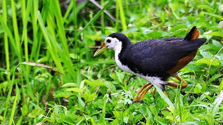 Tentang Burung Ruak Ruak