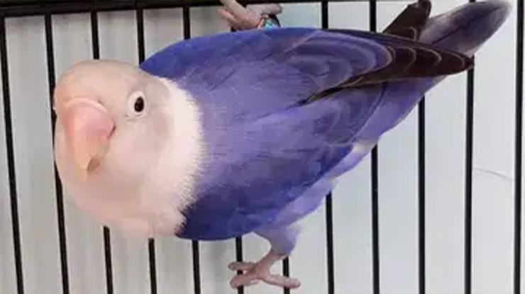 Violet Fc