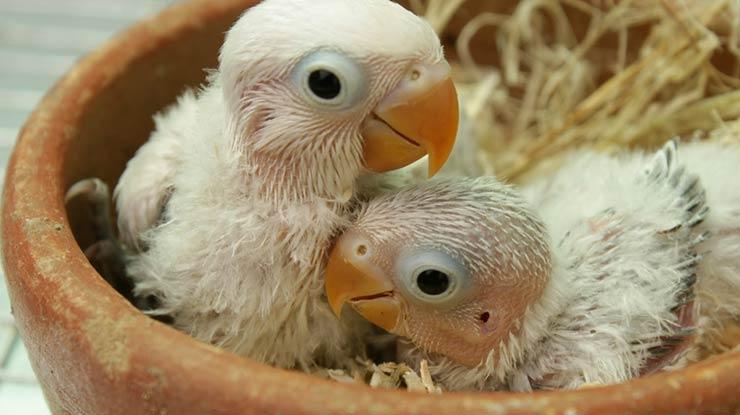 Memelihara Sejak Dini adalah cara menjinakkan burung Lovebird