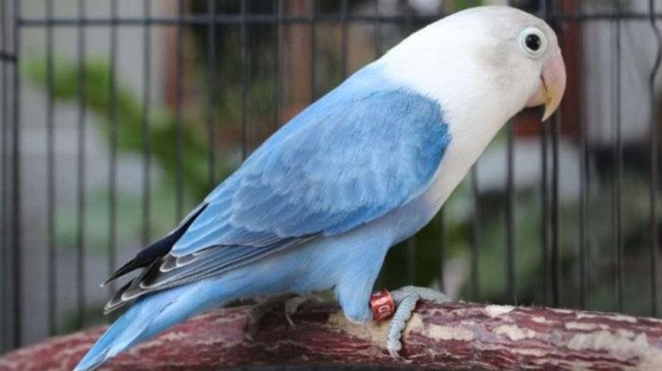burung Lovebird berhasil dijinakan