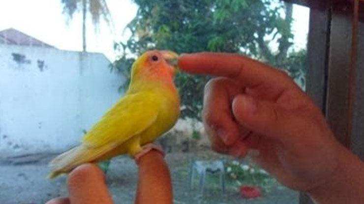 burung Lovebird jinak diberi pakan