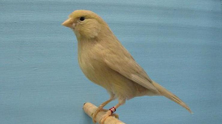 Jenis burung Kenari Warna Pastel