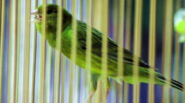 Kenari Jenis Green