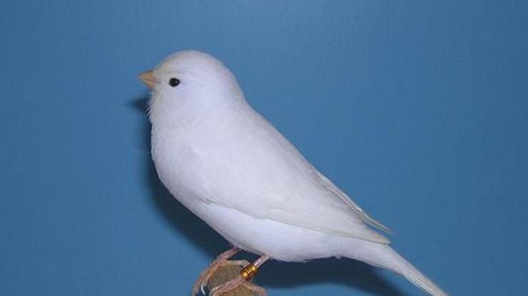 Burung Kenari jenis warna putih