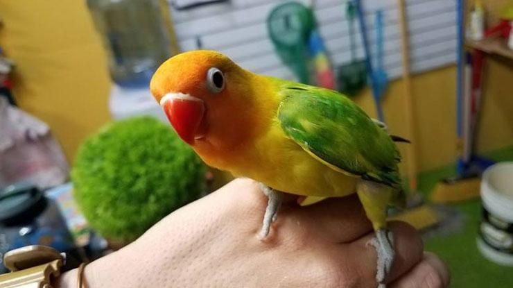 Memegang burung untuk menjinakan burung Lovebird
