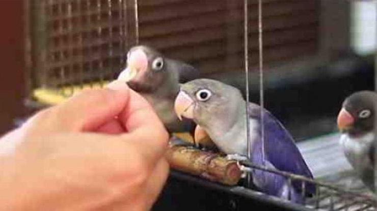 pemberian pakan menggunakan tangan membuat Lovebird ngekek sambil buka sayap