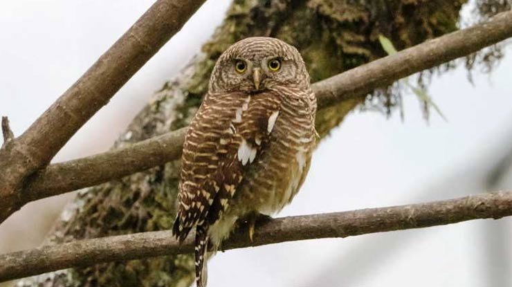 Burung Hantu Jenis Beluk Watu Jawa