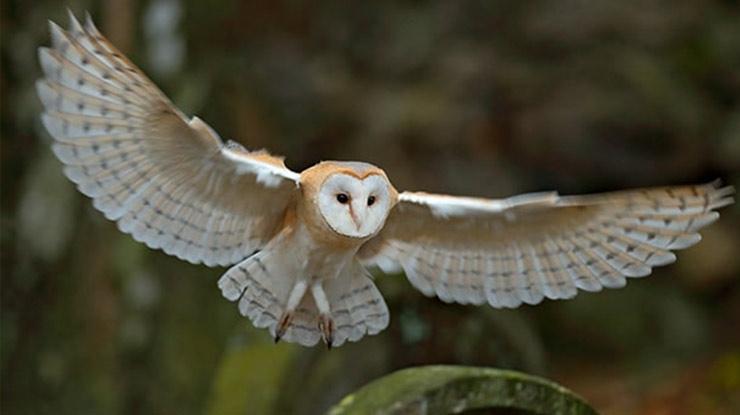 Burung Hantu Bran Owl atau Tyto Alba