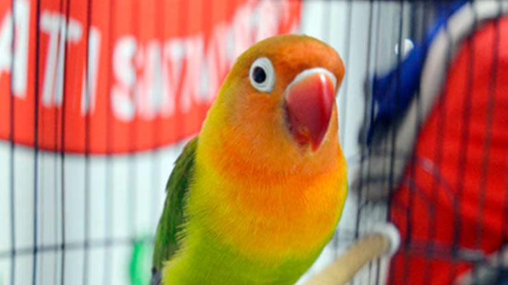 Burung Lovebird Betina