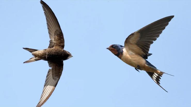 Suara Burung Walet Sebagai Isian Lovebird yang Bagus