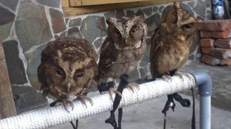 Cara Merawat Burung Hantu dengan Menyiapkan Tempat Bertengger