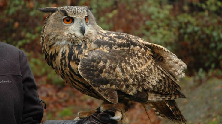 Eurasian Eagle Owl Adalah Jenis Burung Hantu Terbesar