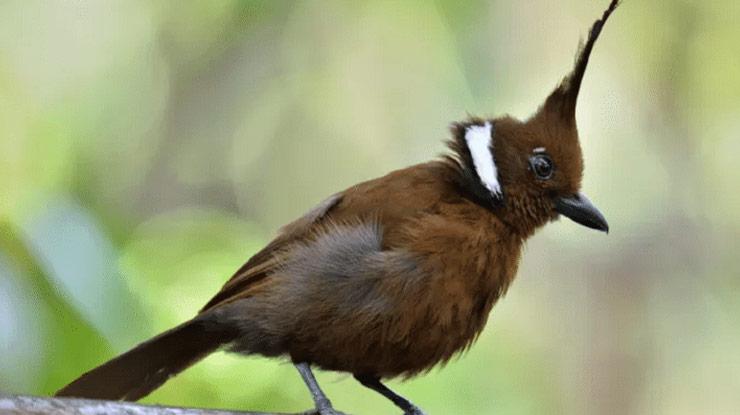 Isian Lovebird yang Bagus Adalah Suara Burung Cililin