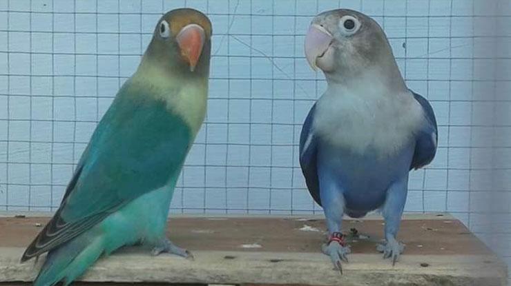 Usia Lovebird Mulai Ngekek