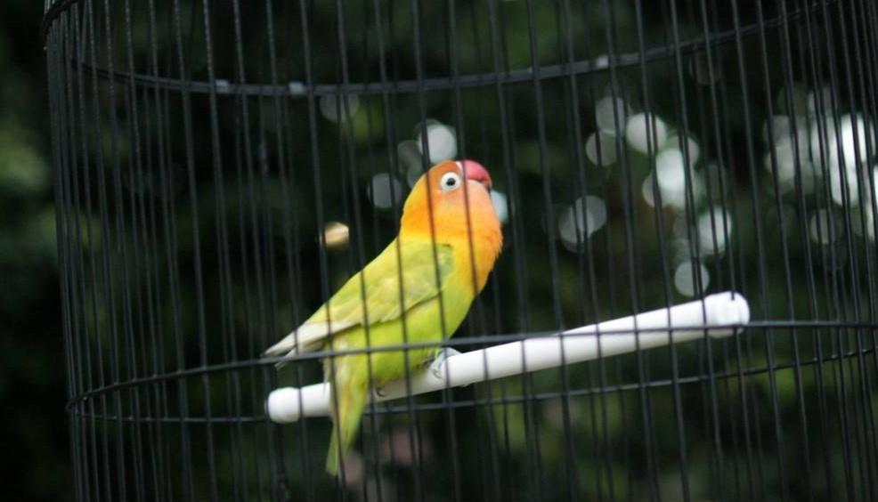Cara Setting Lovebird Betina Single Fighter Untuk Lomba