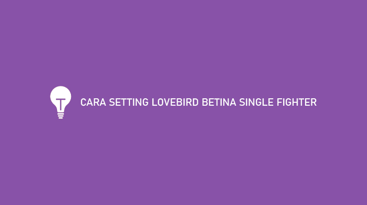 Cara Setting Lovebird Betina Single Fighter