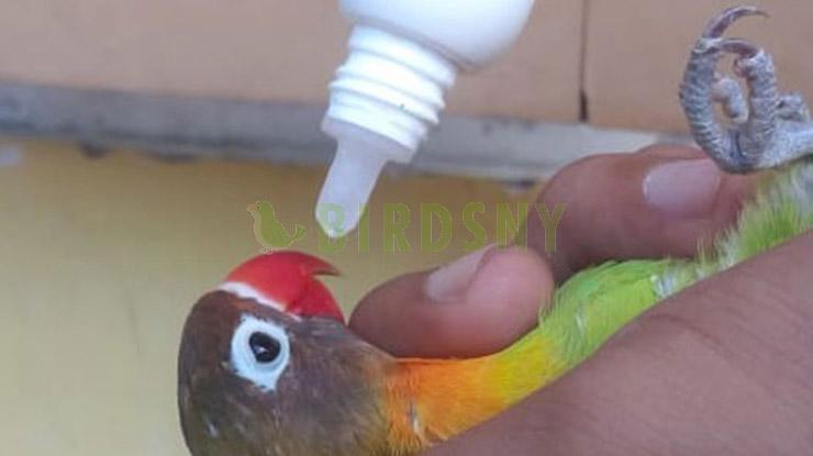 Pemberian Multivitamin Burung Lovebirs