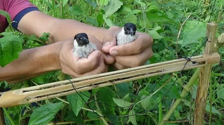 Ambil Burung Hasil Jebak