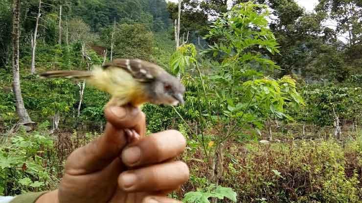 Ambil Burung dan Masukan ke Wadah Adalah Cara Menjerat Burung dengan Getah Pohon