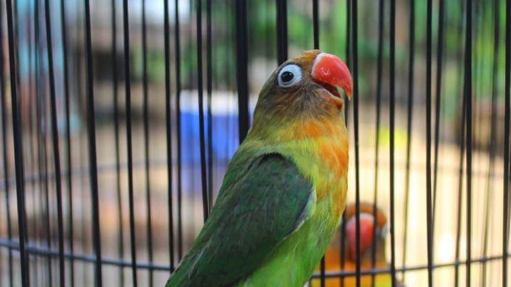 Biji Sawi Meningkatkan Kualitas Lovebird