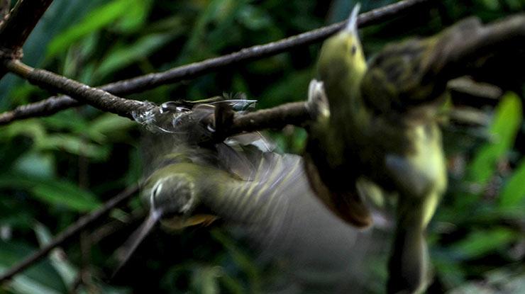 Cara Memikat Burung dengan Pulut