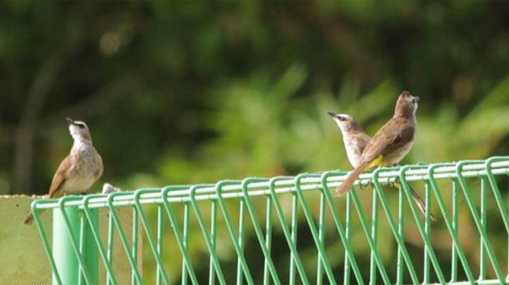 Cara Memilih Burung Trucuk Jantan Berkualitas