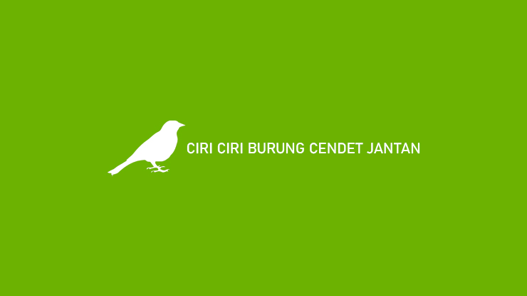 Ciri Ciri Burung Cendet Jantan