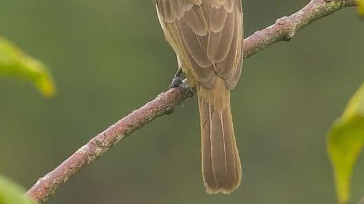 Ciri Ciri Burung Trucuk Jantan dari Ekor