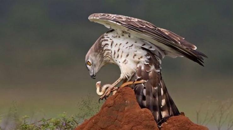 Elang Ular Jari Pendek Jenis Burung Elang di Indonesia