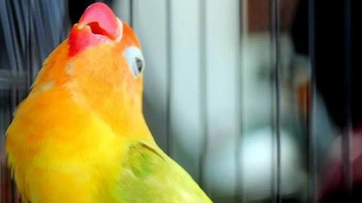 Faktor Pengaruh Lovebird Ngekek Panjang