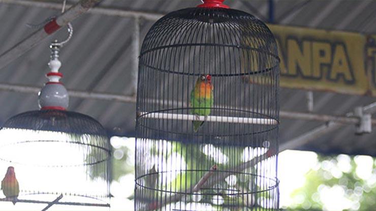 Faktor Settingan Harian Lovebird Ngekek Panjang