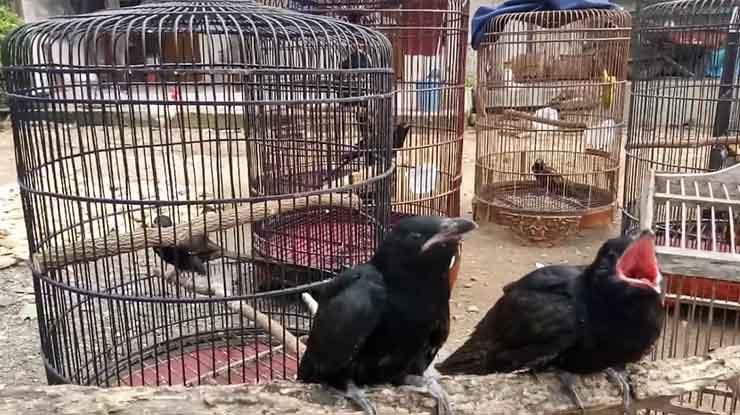 Harga Burung Tuwu Di Pasaran