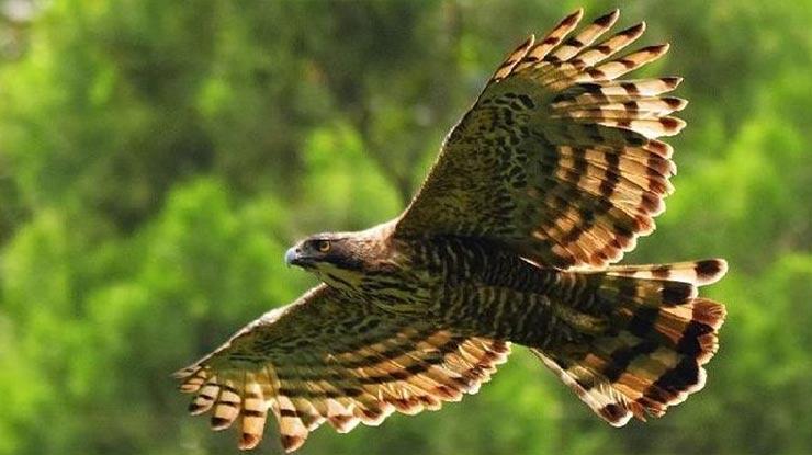 Jenis Burung Elang Yang Ada Di Indonesia