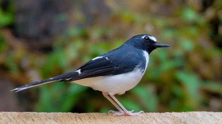 Jenis Burung Kacer Bali