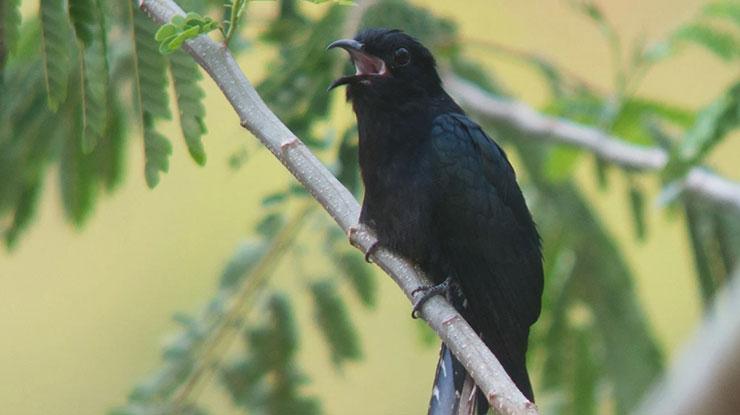Jenis Burung Kedasih Hitam