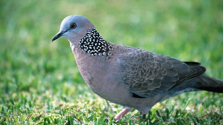 Jenis Burung Perkutut Bangkok