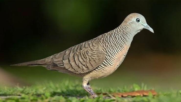 Jenis Burung Perkutut Lokal