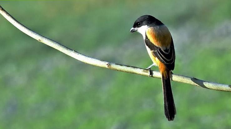 Kelebihan Burung Cendet Jantan